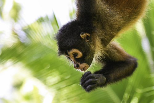 spider monkey colombia